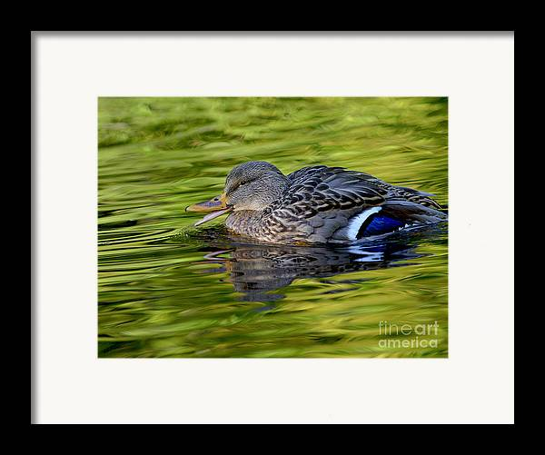 Mallard Framed Print featuring the photograph Quack by Sharon Talson