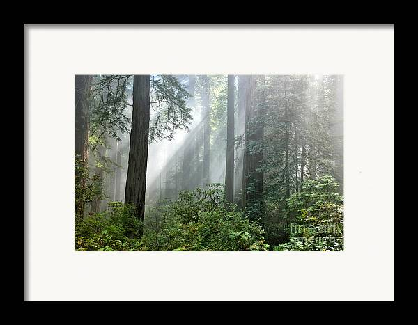 Redwood Trees Framed Print featuring the photograph Redwood Forest With Sunbeams by Inga Spence