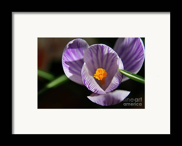 Crocus Framed Print featuring the photograph Remembrance by Neal Eslinger