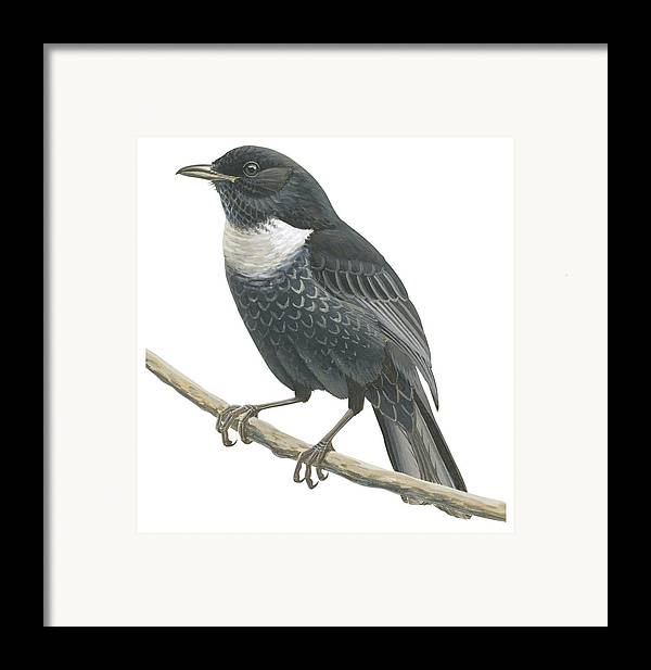 No People; Square Image; Side View; Full Length; One Animal; Animal Themes; Nature; Wildlife; Beauty In Nature; Ring-ouzel; Turdus Torquatus; Perching; Twig; Black; White Framed Print featuring the drawing Ring Ouzel by Anonymous
