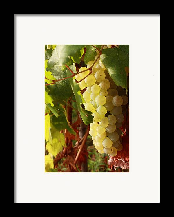 Ripe Grapes Framed Print featuring the photograph Ripe Grapes by Alex Sukonkin