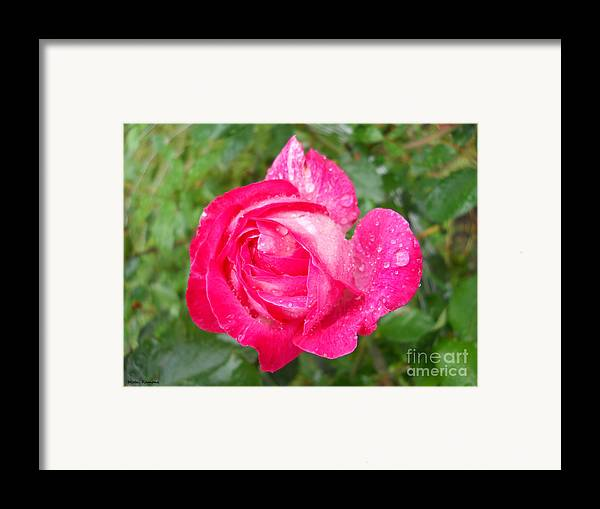 Floral Framed Print featuring the photograph Scented Rose by Ramona Matei