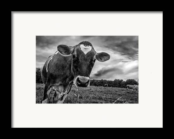 Cows Framed Print featuring the photograph She Wears Her Heart For All To See by Bob Orsillo