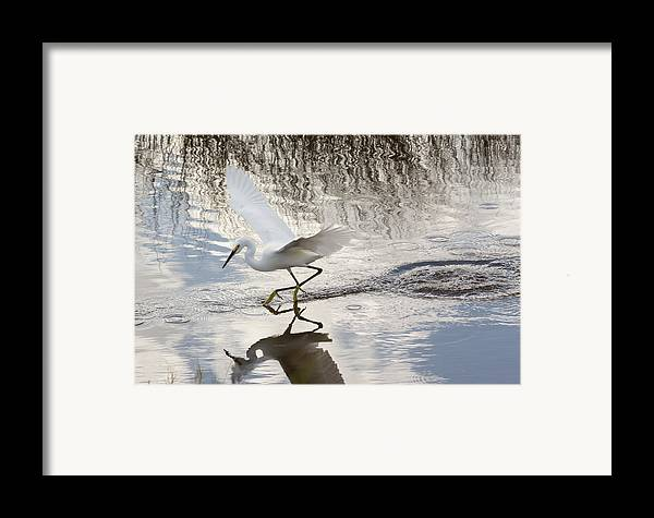 Nature Framed Print featuring the photograph Snowy Egret Gliding Across The Water by John Bailey