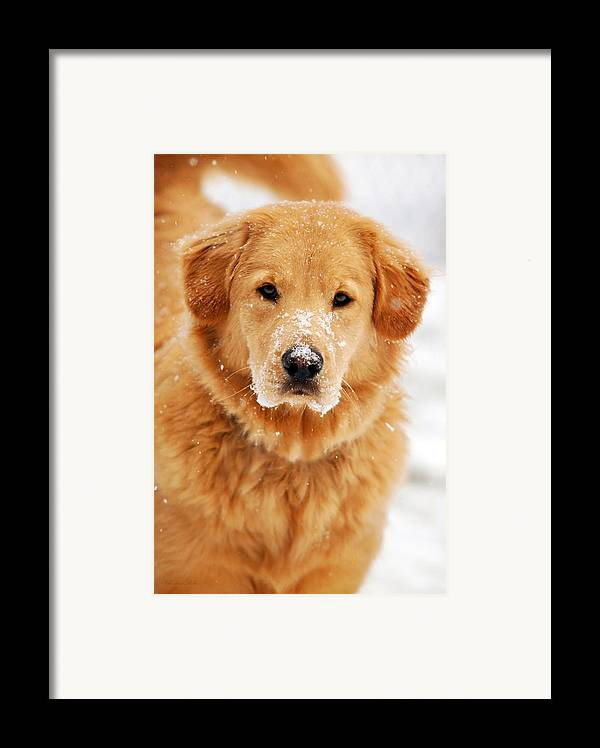 Snowy Framed Print featuring the photograph Snowy Golden Retriever by Christina Rollo
