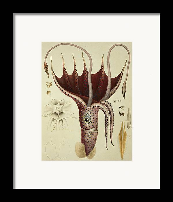 Cranchia Framed Print featuring the painting Squid by A Chazal