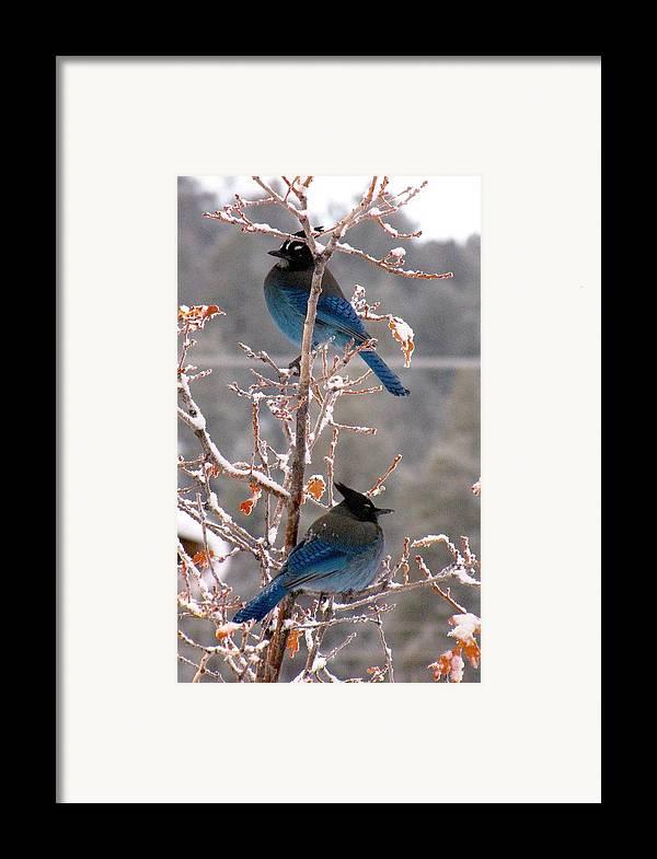 Birds Framed Print featuring the photograph Steller's Jays by Feva Fotos