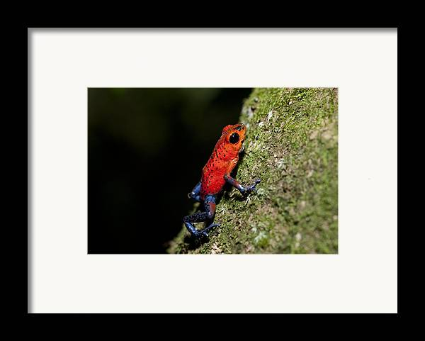 Strawberry Poison Frog Framed Print featuring the photograph Strawberry Poison Frog by Science Photo Library