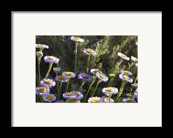 Suisun Marsh Aster Framed Print featuring the photograph Suisun Marsh Aster In The Morning Light by Artist and Photographer Laura Wrede