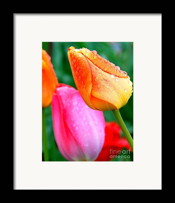 Tulips Framed Print featuring the photograph Sunday Shower Tulip by Christy Phillips