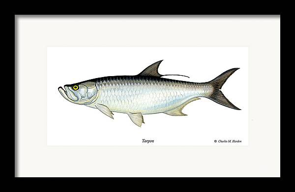 Charles Framed Print featuring the painting Tarpon by Charles Harden
