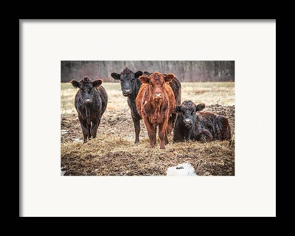 Cattle Framed Print featuring the photograph The Angry Cows by Gary Heller