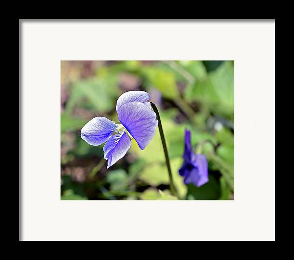 Flower Framed Print featuring the photograph The Violet by Susan Leggett