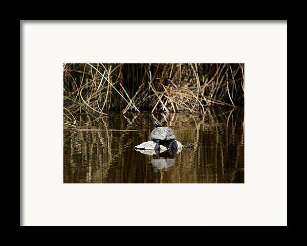 Turtle On Turtle Framed Print featuring the photograph Turtle On Turtle by Ernie Echols
