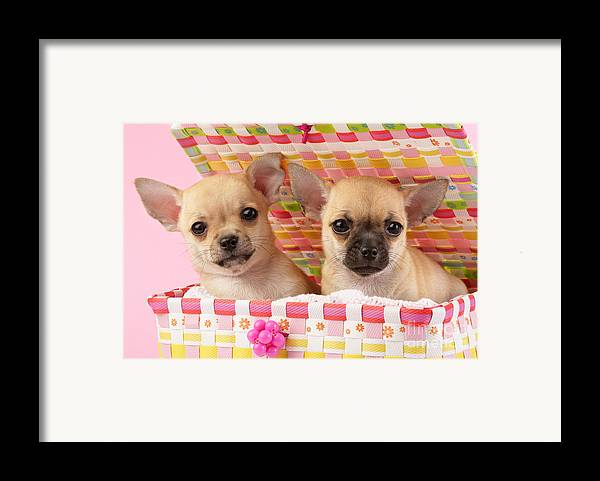 Puppy Framed Print featuring the digital art Two Chihuahuas by Greg Cuddiford