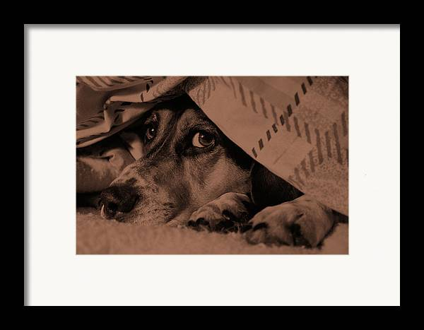 Dog Framed Print featuring the photograph Undercover Hound by Paul Wash