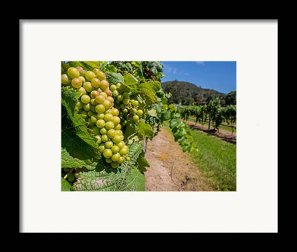 Vineyard Framed Print featuring the photograph Vineyard Grapes by Justin Woodhouse