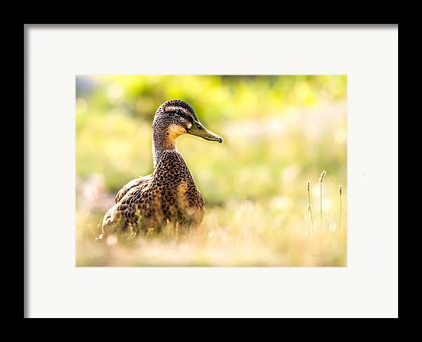 Duck Framed Print featuring the photograph Warm Summer Morning And A Duck by Bob Orsillo