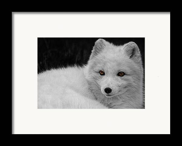 Wee Arctic Hunter Framed Print featuring the photograph Wee Arctic Hunter D3613 by Wes and Dotty Weber