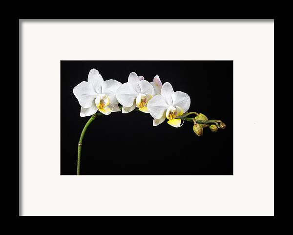 3scape Photos Framed Print featuring the photograph White Orchids by Adam Romanowicz