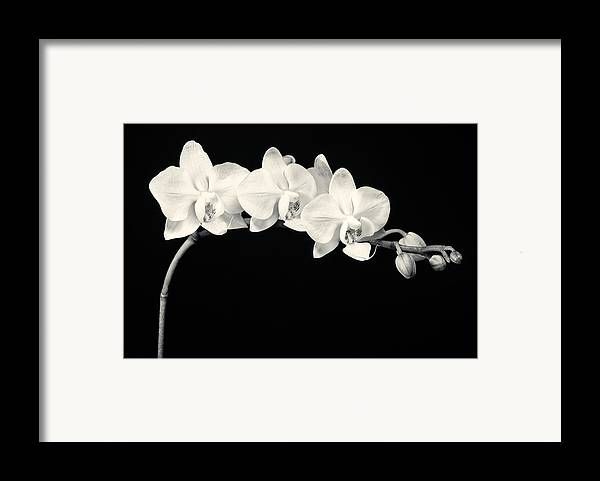 3scape Photos Framed Print featuring the photograph White Orchids Monochrome by Adam Romanowicz