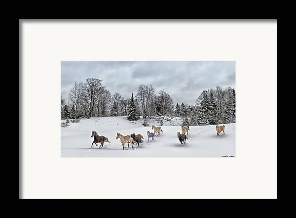 Rocky Mountain Horse Framed Print featuring the photograph Winter Run by Peter Lindsay