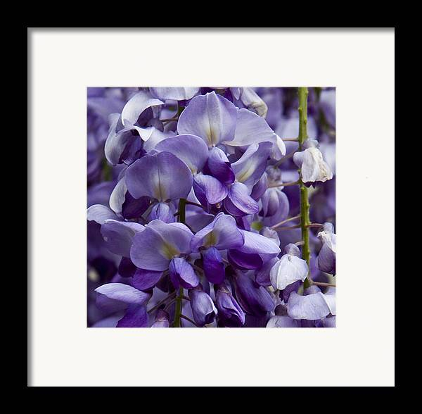 Nature Framed Print featuring the photograph Wisteria by Michael Friedman