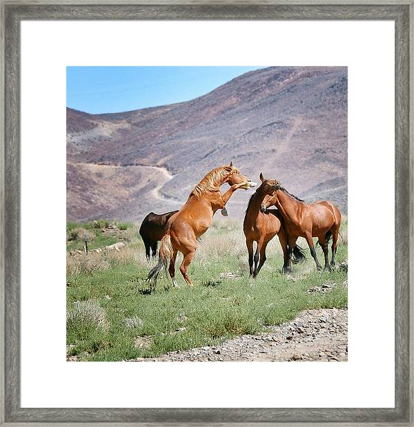 Young Mustangs Framed Print featuring the photograph Young Mustangs Playing 2 by Maria Jansson