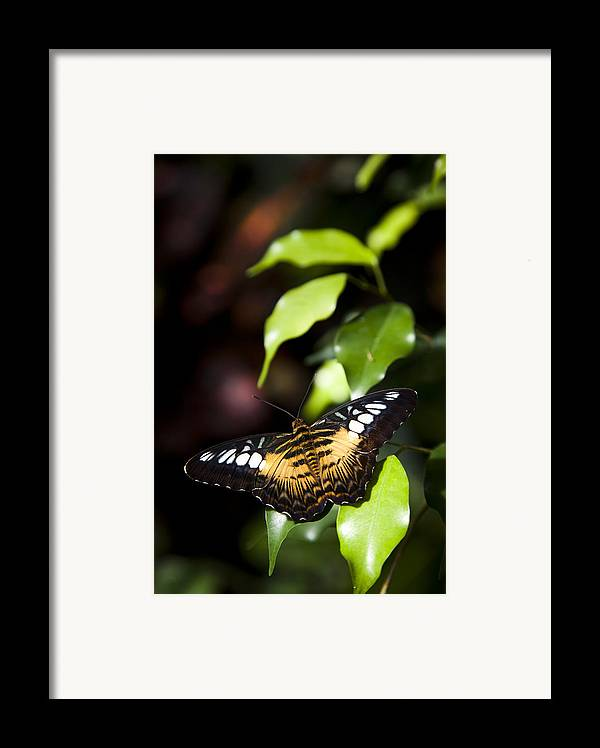Brown Clipper Framed Print featuring the photograph A Butterfly Perches On A Leaf by Taylor S. Kennedy