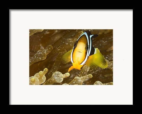 Eye Contact Framed Print featuring the photograph Clarks Anemonefish Among An Anemones by Tim Laman