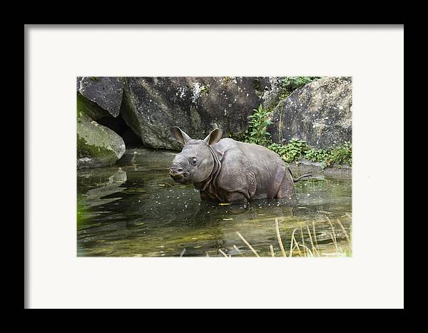 Mp Framed Print featuring the photograph Indian Rhinoceros Rhinoceros Unicornis by Konrad Wothe
