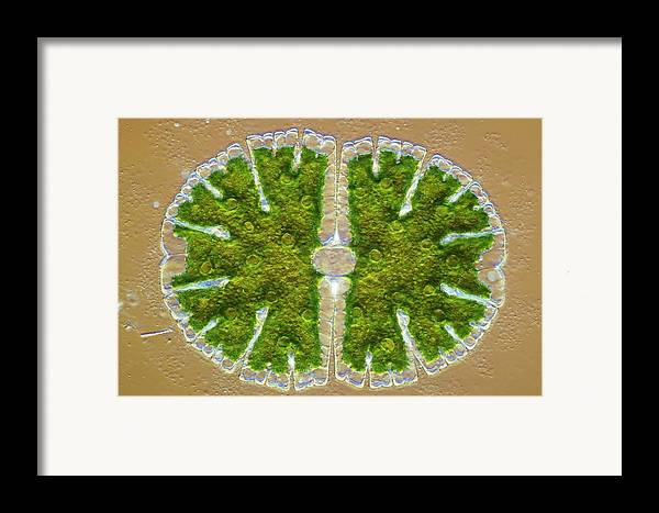 Algae Framed Print featuring the photograph Microsterias Green Alga, Light Micrograph by Frank Fox