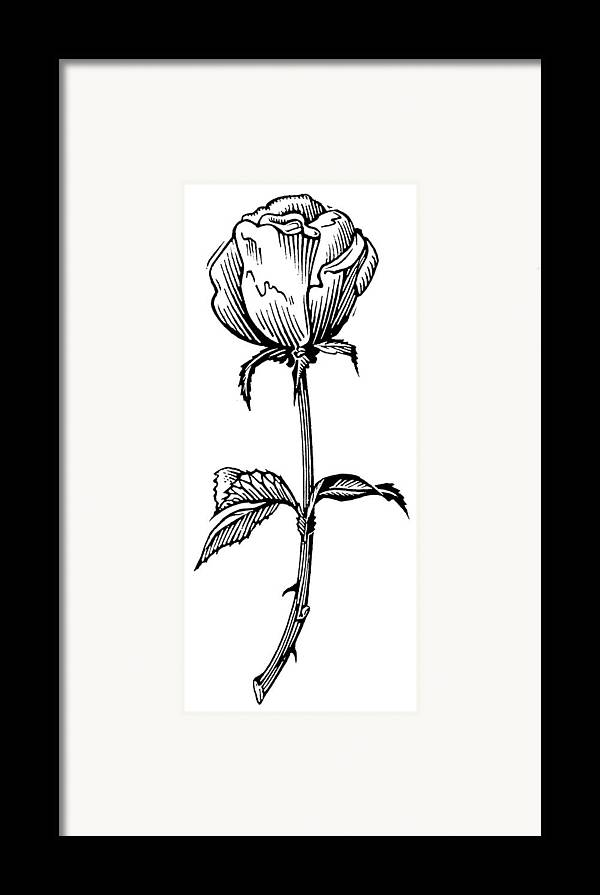 Rosa Sp. Framed Print featuring the photograph Rose, Lino Print by Gary Hincks