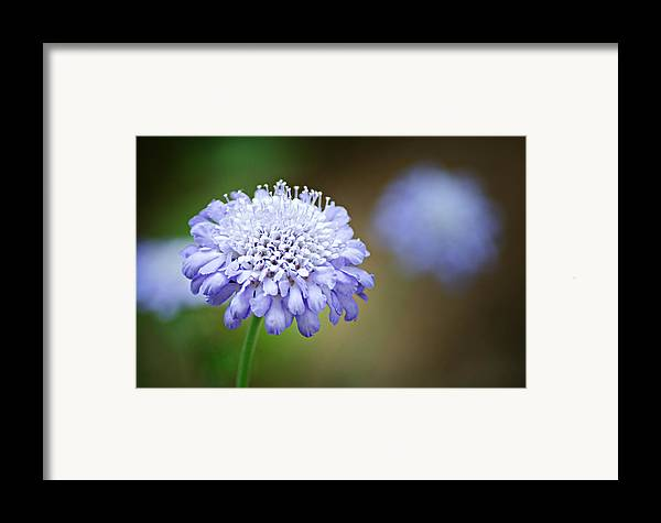 Butterfly Blue Pincushion Flower Framed Print featuring the photograph 1205-8794 Butterfly Blue Pincushion Flower by Randy Forrester