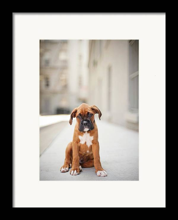 Vertical Framed Print featuring the photograph 2 Month Old Boxer Puppy Standing In Alley by Diyosa Carter
