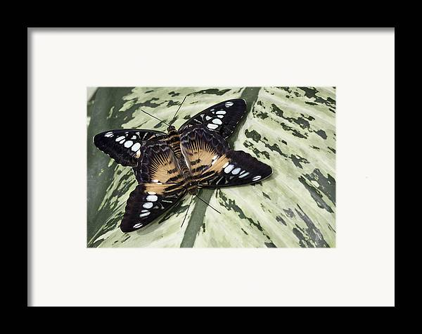 Matting Butterfly Framed Print featuring the photograph Butterfly by Nick Mares