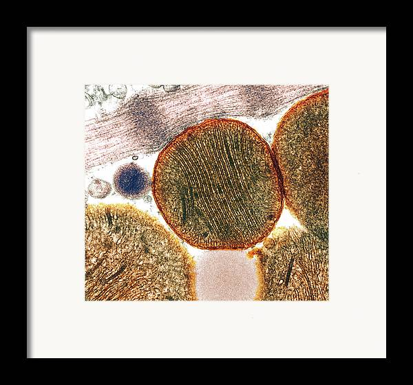 Mitochondrion Framed Print featuring the photograph Mitochondria by Steve Gschmeissner