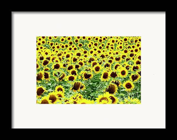 Agriculture Agricultural Crop Cultivate Cultivation Rural Farming Field Countryside Environment Sunflower Yellow Flowers Oil Plant Framed Print featuring the photograph Field Of Sunflowers by Bernard Jaubert