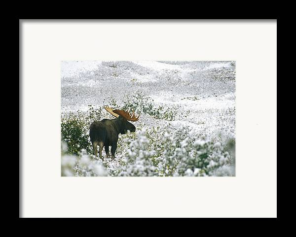 North America Framed Print featuring the photograph A Bull Moose On A Snow Covered Hillside by Rich Reid