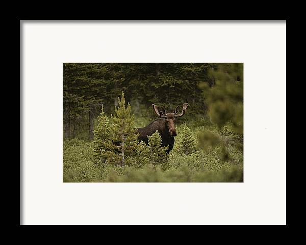 North America Framed Print featuring the photograph A Bull Moose Stops For A Photograph by Raymond Gehman
