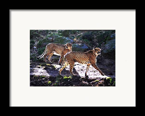 A Pair Of Cheetah's Framed Print featuring the photograph A Pair Of Cheetah's by Bill Cannon