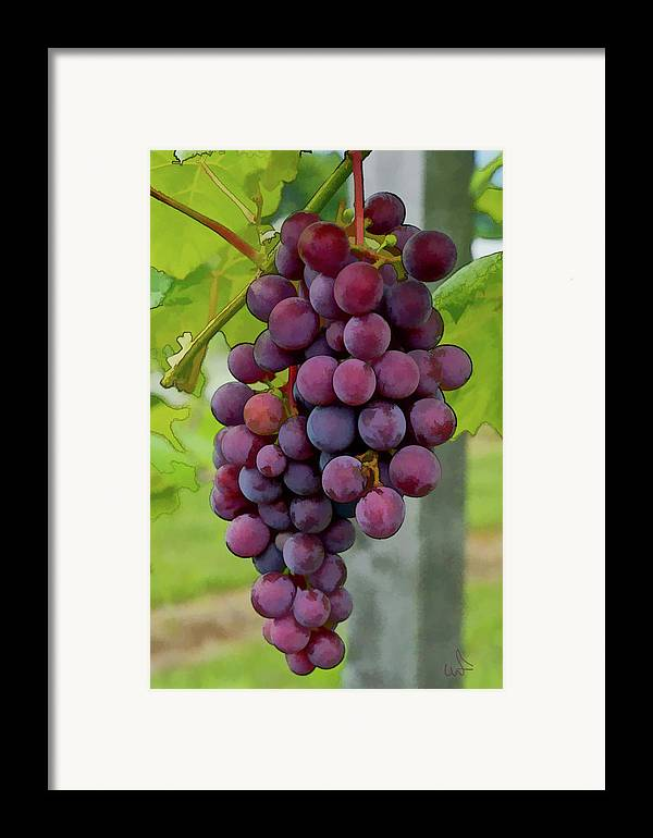 Grapes Framed Print featuring the photograph August Grapes by Michael Flood