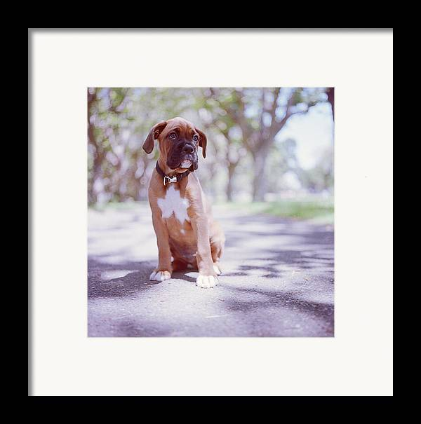 Vertical Framed Print featuring the photograph Boxer Puppy by Diyosa Carter