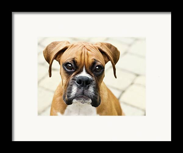 Horizontal Framed Print featuring the photograph Boxer Puppy by Jody Trappe Photography