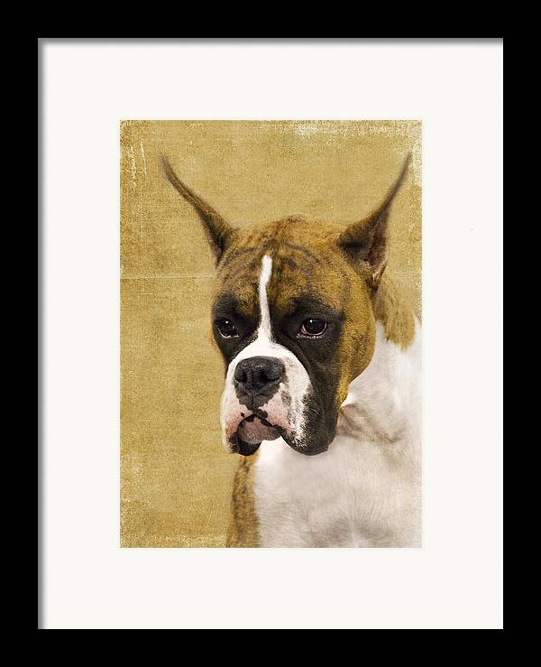 Boxer Framed Print featuring the photograph Boxer by Rebecca Cozart