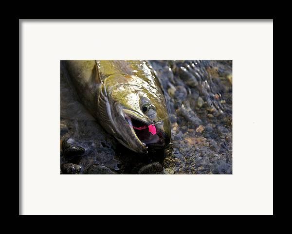 Salmon Framed Print featuring the photograph Chum Salmon by Ivan SABO