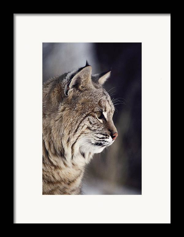 North America Framed Print featuring the photograph Close-up Of A Bobcat Felis Rufus by Dr. Maurice G. Hornocker