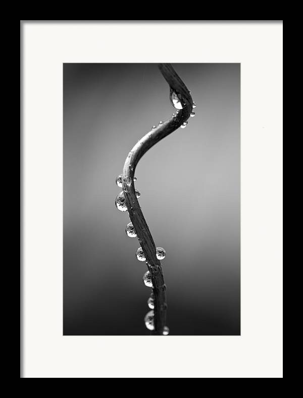 Vine Framed Print featuring the photograph Curly Vine by Anya Brewley schultheiss