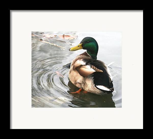 Nature Framed Print featuring the photograph Duck Beauty by Valia Bradshaw