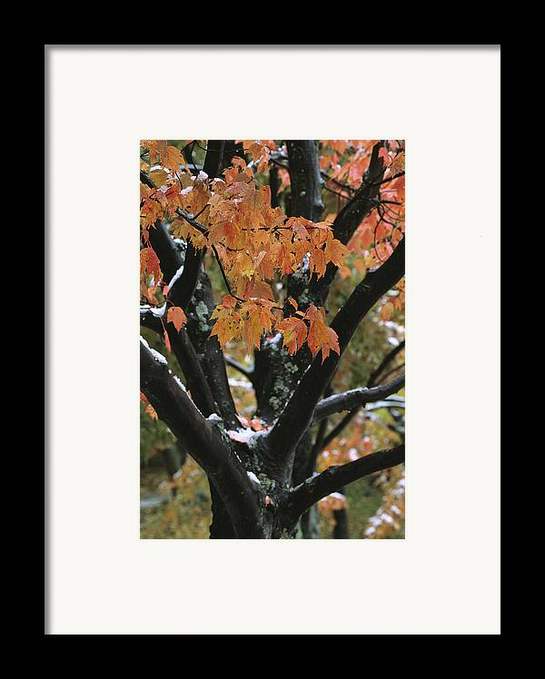 Outdoors Framed Print featuring the photograph Fall Foliage Of Maple Tree After An by Tim Laman